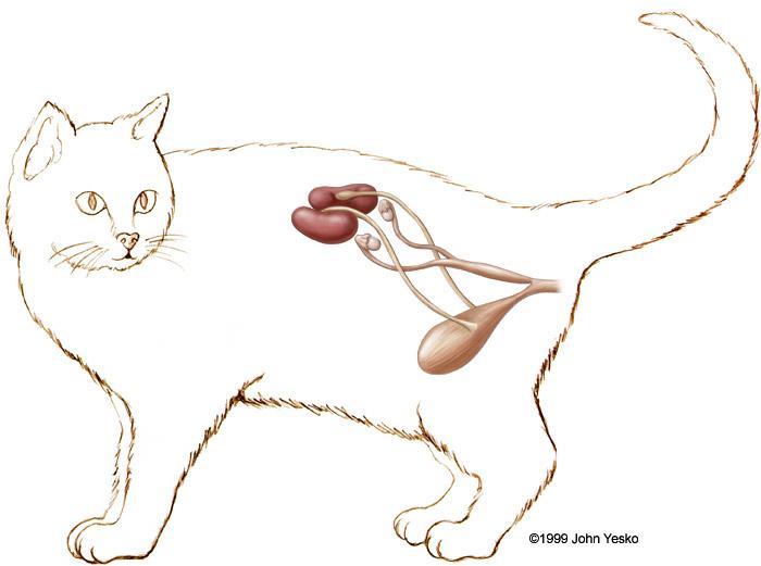 Stock veterinary medical illustration of feline female cat anatomy illustration ccuart Choice Image