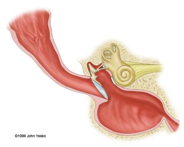 Stock Veterinary Medical Illustration Of Canine Ear Anatomy